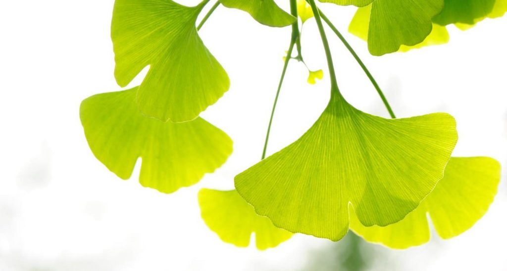 gingko biloba as an aphrodisiac