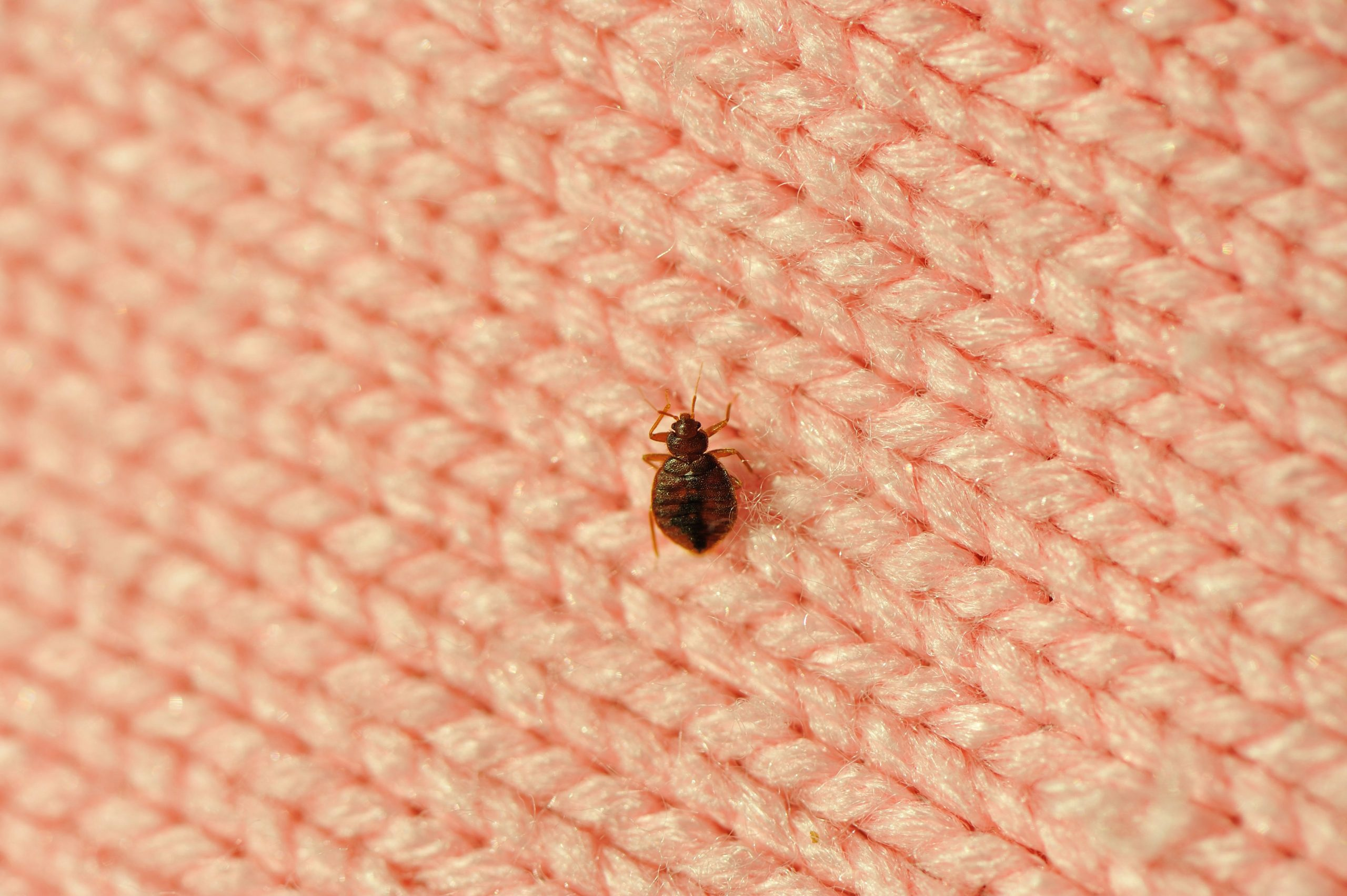 single-bed-bug-on-a-blanket