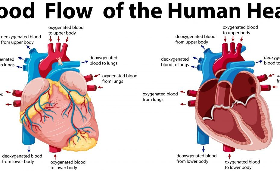 Heart-Function-Anatomy
