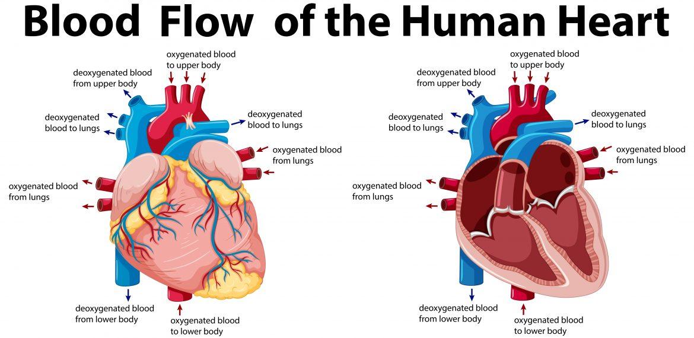 Heart-Function-Anatomy