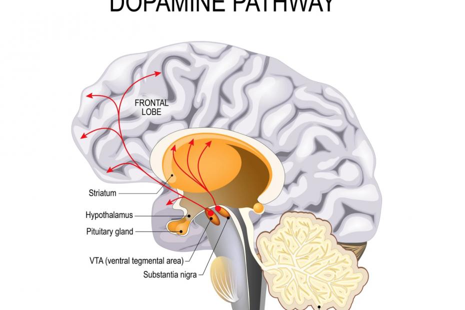dopamine-pathway